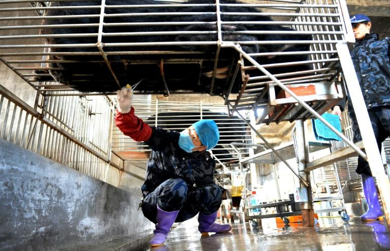 Chinese workers collect bile from a caged bear at a farm in Fujian province. Beijing is promoting the use of bear bile to treat coronavirus patients but it has no proven effectiveness (AFP Photo/STR)