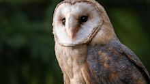 United Airlines adds barn owls to eco-friendly projects