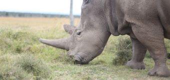 Forscher: Erfolge bei Rettung von seltener Nashorn-Unterart