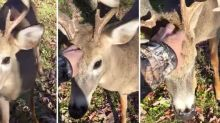 Hunter Completely Amazed After Brave Deer Walks Up to Him and Demands Head Scratches