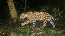 Pac-man, el jaguar que delató a traficantes chinos en México
