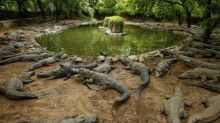 印度最大鱷魚動物園受疫情衝擊 陷斷炊危機