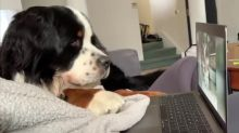 Bernese fascinated by dog compilation videos on laptop
