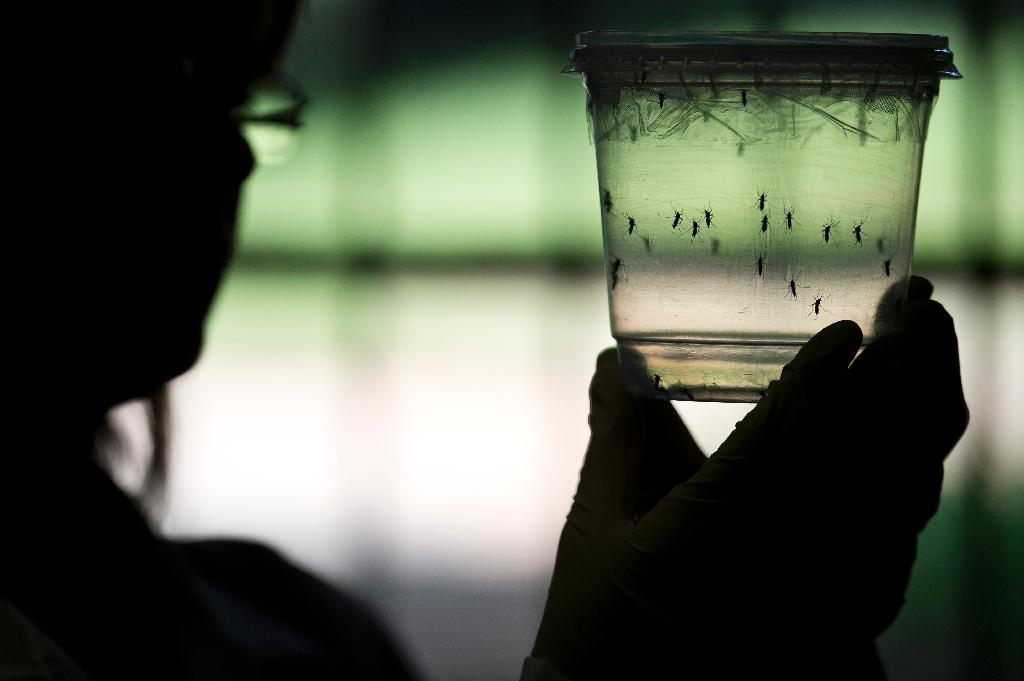 A researcher looks at Aedes aegypti mosquitoes kept in a container at a laboratory in Sao Paulo, Brazil on January 8, 2016
