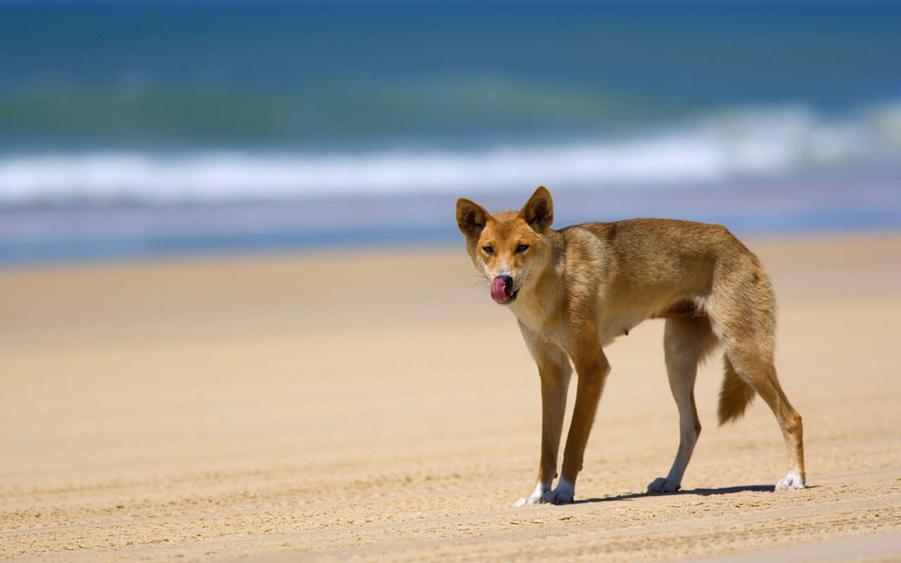 Feeding dingoes could now cost you more than $10,000