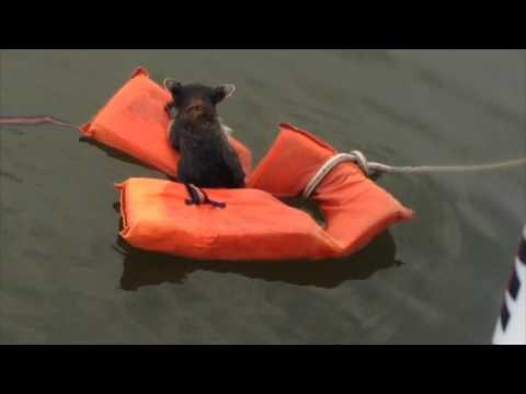 Baby Raccoon Rescued From Water Using Floating Devices