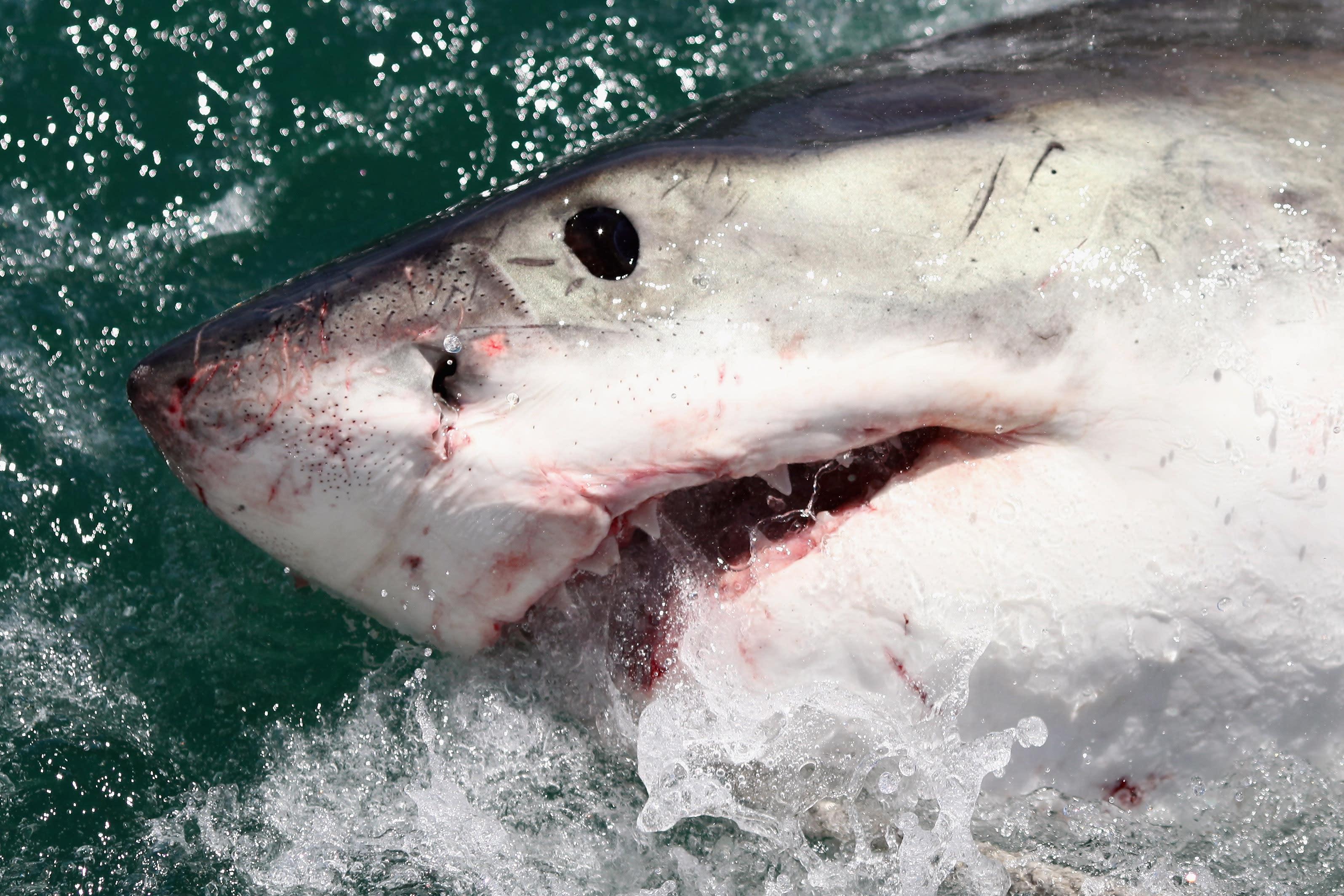 Great white shark sex, women muscle fuck