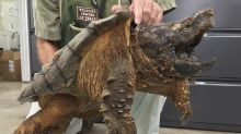 53-pound snapping turtle saved from pipe