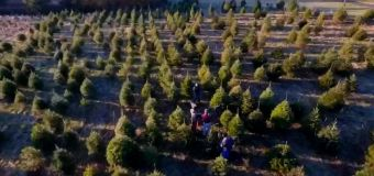 Your Christmas tree may be more expensive