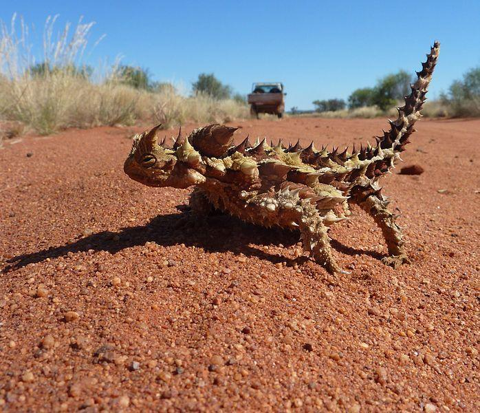 <p><strong>What is it?</strong> An Australian lizard, also known as the mountain devil, the thorny lizard, or the moloch.<br /> <strong>Size:</strong> Up to 20cm (eight inches) in length.<br /> <strong>Lives:</strong> In the arid scrubland and desert that covers most of central Australia. The thorny dragon can survive for up to around 20 years.<br /> <strong>Eats:</strong> Ants are its favourite fare, and thorny dragons often eat thousands of ants in one day.<br /> <strong>Fun fact:</strong> The thorny dragon is covered in hard, sharp spines that dissuade attacks from predators by making it difficult to swallow. It also has a false head on its back. When it feels threatened by other animals, it lowers its head between its front legs, and then presents its false head.</p>