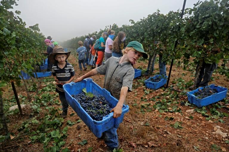Despite novel coronavirus restrictions, around a hundred volunteers are helping harvest grapes at the family-run Tura Winery in the occupied West Bank settlement of Har Bracha