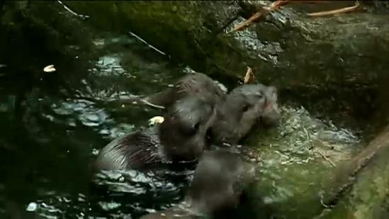 New otter ready for display at zoo