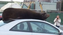 Sea lion takes a break on roof of Honda Civic