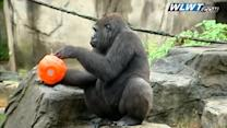 Curious gorilla goes trick or treating
