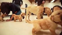University creates puppy cuddling room for stressed students