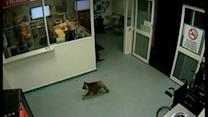 Raw: Koala Strolls Through Australia Hospital