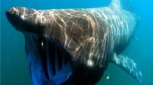 Researchers hopeful bus-sized sharks will return in abundance to B.C. waters