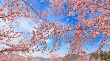 陷入夢幻粉紅花海 賞櫻聖地引發高人氣