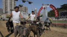Macao acepta 533 galgos abandonados tras cierre de pista
