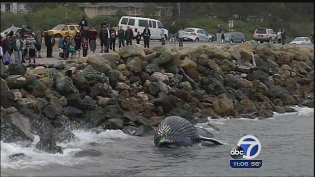 Baby humpback whale washes up at Pillar Point