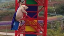 Pig forced to bungee jump by Chinese theme park and then sent to slaughterhouse