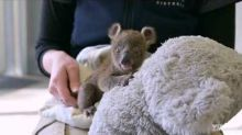 Victoria Zoo Saves Life of Orphaned Koala Joey