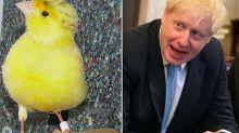 Lost canary nicknamed Boris Johnson thanks to his fluffy hairdo