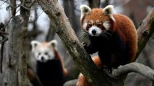 French zoo finds runaway red panda