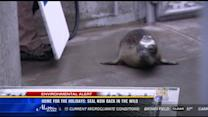 Home for the holidays: Seal now back in the wild
