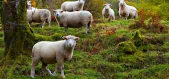 Hundreds of sheep killed after bear chases them over cliff