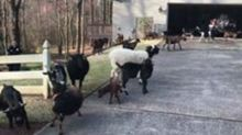 Roswell Police Officers Wrangle Goats After Lawn Job Goes Awry