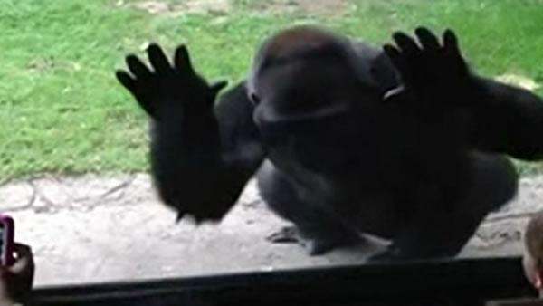 Gorilla responds to taunts, leaves kids petrified