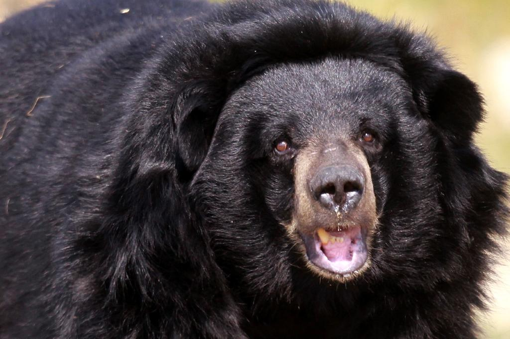 A file picture of an Asian black bear, the same species which attacked Japanese man Soichiro Mori