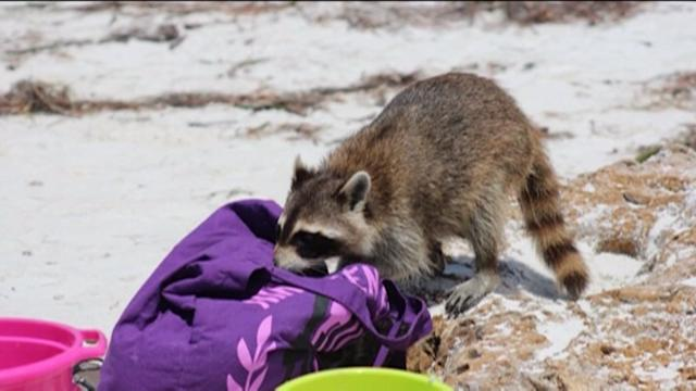 Raccoon snatches woman`s wallet and spotlight