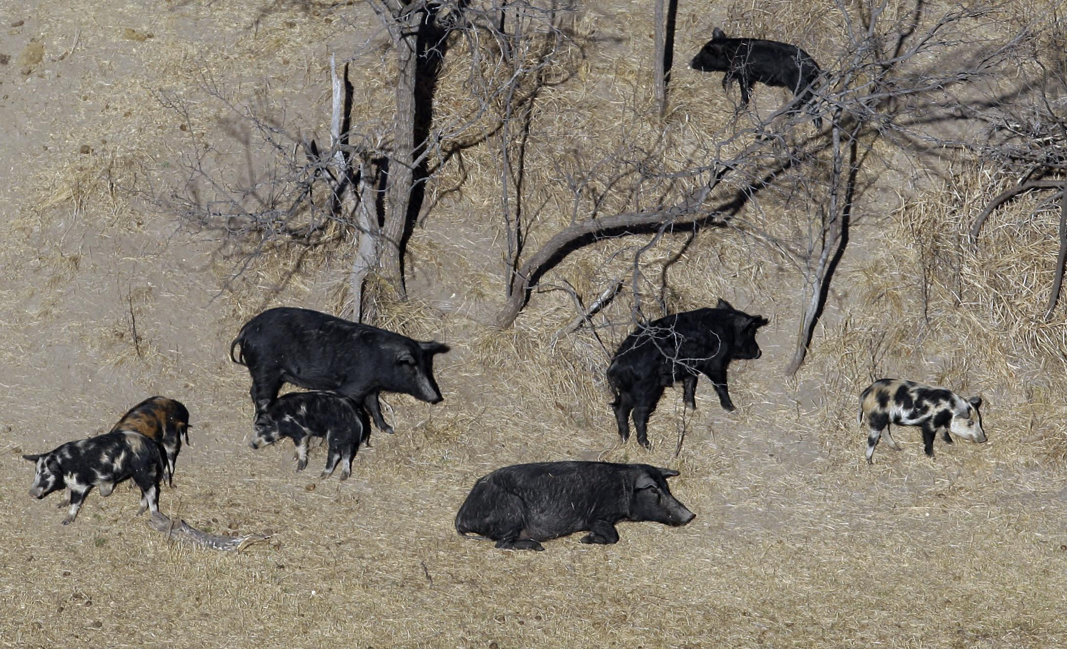 Feral Pigs Montana