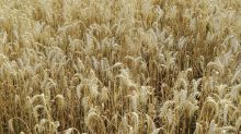 Australian Farmers Wait for Rain as GrainCorp Warns of Dry Start