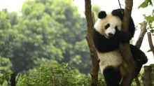 Pandas use lockdown privacy to mate after a decade of trying