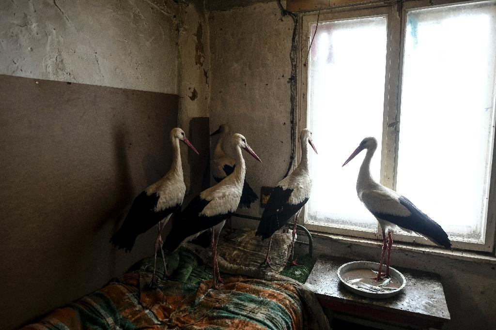 Safet Halil has housed a number of storks he found suffering in the cold weather near his village of Zaritsa (AFP Photo/Dimitar DILKOFF)