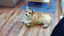 Corgi's Strategy to Avoid Going Outside