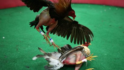 Farm bill may end lucrative cockfighting industry