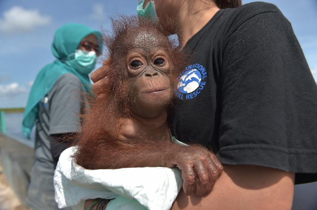 Environmentalists stress keeping orangutans as pets is bad because it means they will later struggle to survive in the wild (AFP Photo/ADEK BERRY)