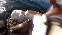 Seal jumps on tour boat to escape hungry orcas (video)