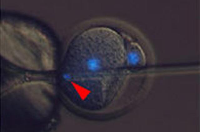 Researchers produce healthy mice without using fertilized eggs