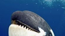 Killer Whale Head-Butts Scientist's Camera And She's Just Thrilled