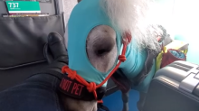 Miniature service horse called Fred takes his first flight