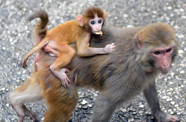 Gene-modified autistic monkeys could lead to a cure for humans