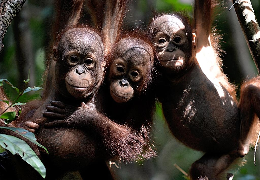 Borneo's orangutans are under threat from farming, climate change, and being hunted for food