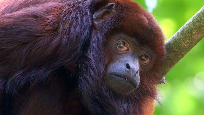 Mono entró por una ventana y arrancó parte del cuero cabelludo de una niña