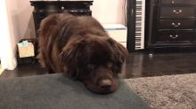 Massive Pooch Puts Puppy Eyes Into Action To Get What He Wants