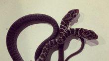 Dos, la serpiente bicéfala de Florida convertida en fenómeno viral